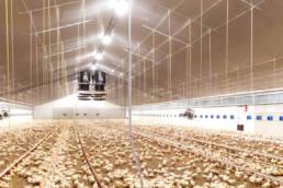 Controllo automatizzato dell'illuminazione per l'allevamento del pollame